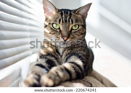Closeup portrait of cute adorable tabby cat with stripes and yellow eyes looking straight into camera lying on sofa couch on sunny day. Selective focus.  - stock photo