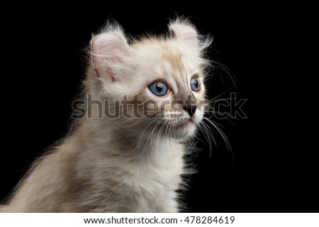 Closeup Portrait of Cute American Curl White Kitten with Twisted Ears and Blue eyes Looking Curious Isolated Black Background, Profile view