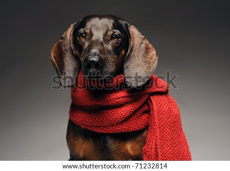 closeup portrait of cute black and brown dachshund with red scarf - stock photo