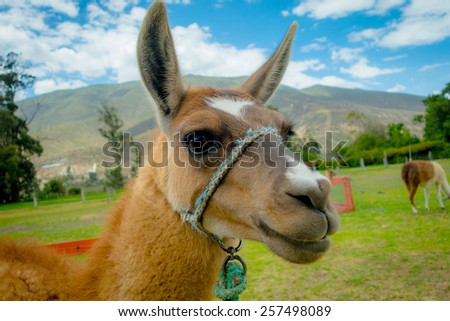 closeup portrait of cute llama in a farm