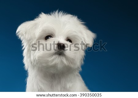 Closeup Portrait of  Cute White Maltese Puppy Looking up isolated on blue background - stock photo