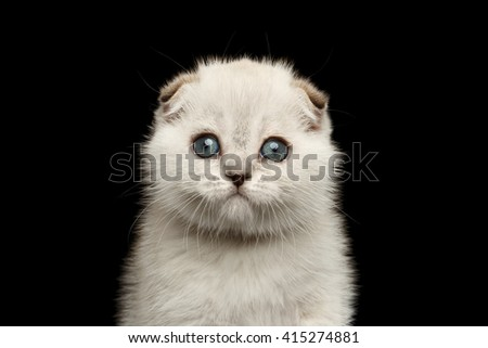 Closeup portrait of Cute White Scottish Fold Kitten with blue eyes Looking in Camera, front view Isolated on Black Background - stock photo