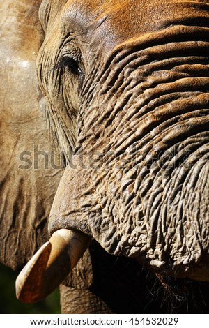 Closeup portrait of Elephant bull. Loxodante africana - stock photo
