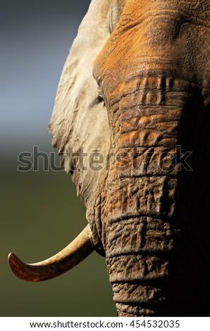 Closeup portrait of Elephant bull. Loxodonta africana - stock photo