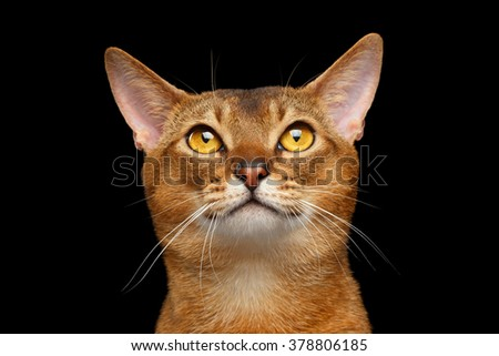 Closeup Portrait of Funny Abyssinian cat Looking Up Isolated on black background - stock photo