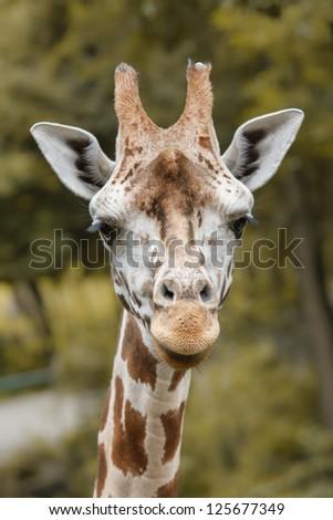Closeup portrait of giraffe - stock photo