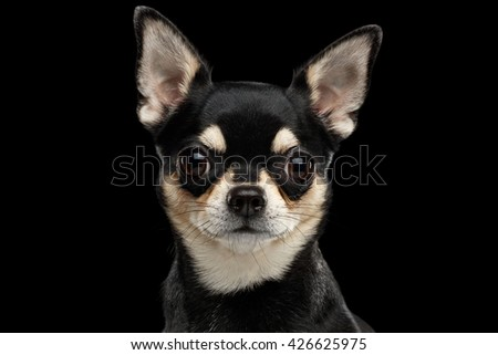 Closeup Portrait of Gorgeous Chihuahua Dog Looking in Camera on Black Isolated Background - stock photo