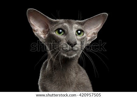 Closeup Portrait of Gray Oriental Cat With Big Ears and Green eyes Looking up, Black Isolated Background - stock photo