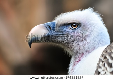 Closeup portrait of Griffon Vulture ( Gyps Fulvus). Profile view of beautiful captive prey bird isolated on a blurred background - stock photo