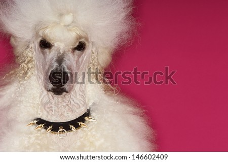Closeup portrait of groomed White Standard Poodle on pink background - stock photo