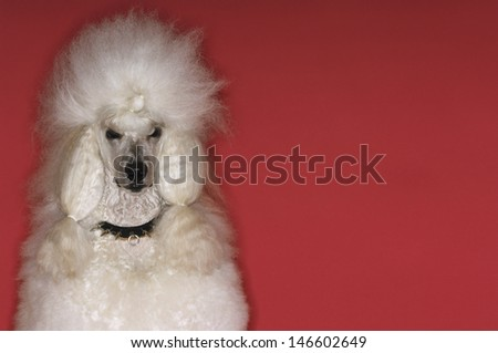 Closeup portrait of groomed White Standard Poodle on red background - stock photo