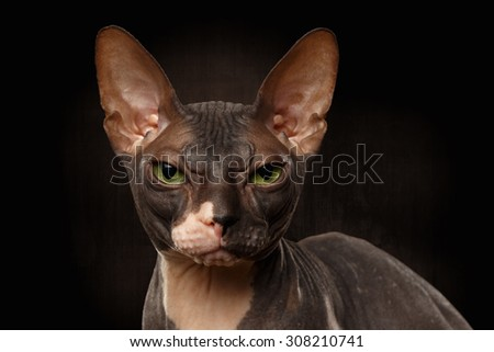 Closeup Portrait of Grumpy Sphynx Cat Front view on Black Background - stock photo