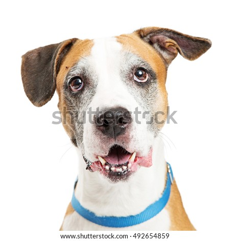 Closeup portrait of happy mixed large breed dog over white