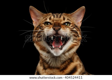 Closeup Portrait of Hissing Bengal Male Cat on Black Isolated Background Looking in Camera, Front view - stock photo