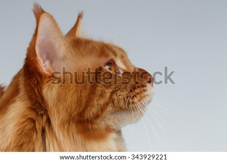 Closeup Portrait of Maine Coon Cat in Profile view on White background