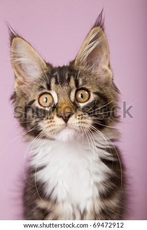 Closeup portrait of Maine Coon kitten on pink background - stock photo
