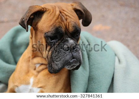 Closeup portrait of one large cute friendly pedigreed boxer pet with sweety kind look and sad eyes lying on grey blue blanket indoor, horizontal picture  - stock photo