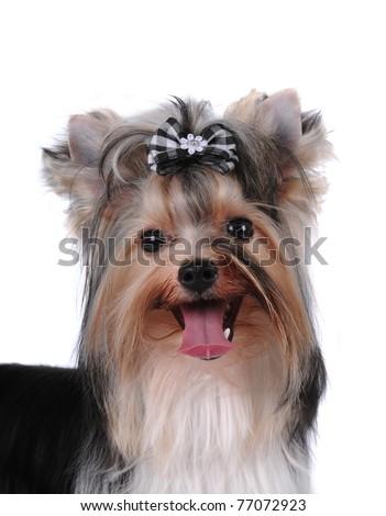 Closeup portrait of pretty lap dog biver york - stock photo