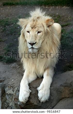 closeup portrait of rear white african lion - stock photo