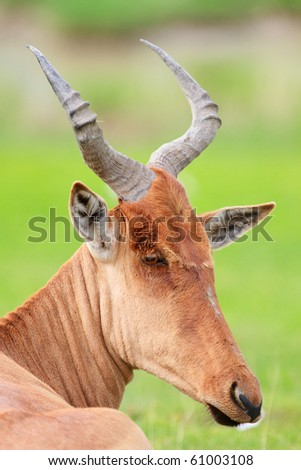 Closeup portrait of red hartebeest antelope, Ngorongoro crater area in Tanzania