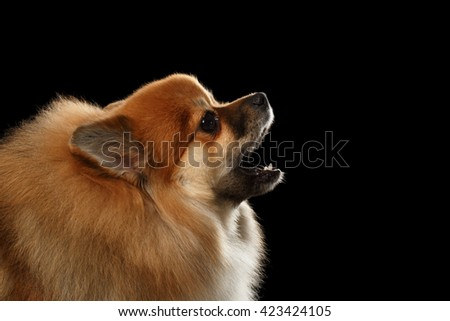 Closeup Portrait of Red Pomeranian Spitz Dog howls isolated on Black Background, Profile view - stock photo