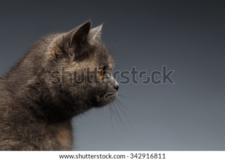 Closeup Portrait of Scottish Cat on Gray Background in Profile view