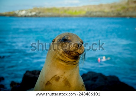 closeup portrait of sea lion's face with sea on the backgroundgalapagos islands - stock photo