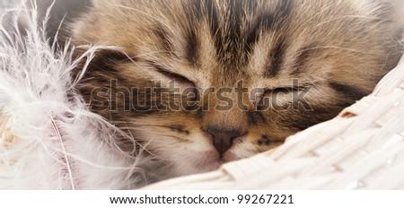 Closeup portrait of sleeping adorable kitten - stock photo