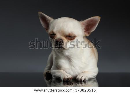 Closeup Portrait of Sleeping Chihuahua dog on Blue background - stock photo