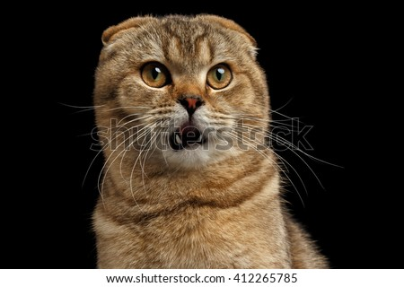 Closeup Portrait of Surprised Scottish fold Cat with Opened Mouth looks questioningly Isolated on Black Background