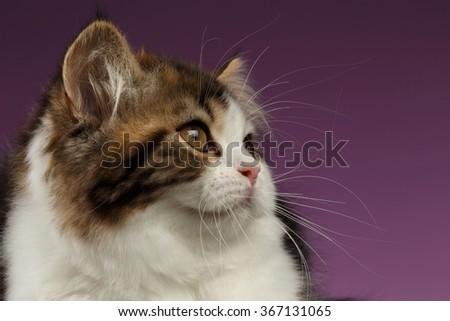 Closeup Portrait of Tabby Scottish straight Kitten on Purple Background, Profile view - stock photo