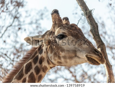 Closeup portrait of the giraffe chewing grass in the lisbon zoo - Portugal - stock photo