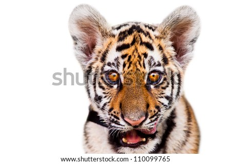 Closeup portrait of  tiger cub - stock photo