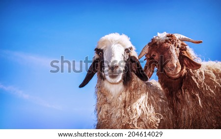 Closeup portrait of two cute funny young sheep on blue sky background, domestic animals on the farm, farming concept - stock photo