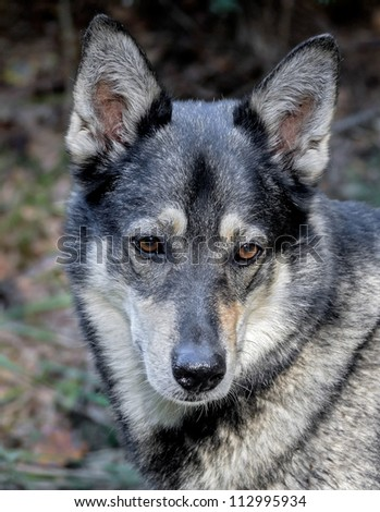 Closeup portrait of very good dog, a cross between a husky and wolf, Russia