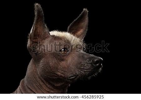 Closeup portrait of Xoloitzcuintle - hairless mexican dog breed, on Isolated Black background, Sad eyes, Profile view - stock photo