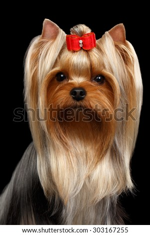 Closeup Portrait of Yorkshire Terrier Dog on Black background
