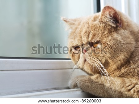 Closeup portrait photo of a CPA cat looking out through a window - stock photo