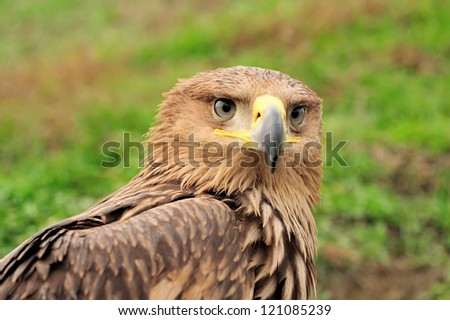 Closeup portrait young eagle in grass - stock photo
