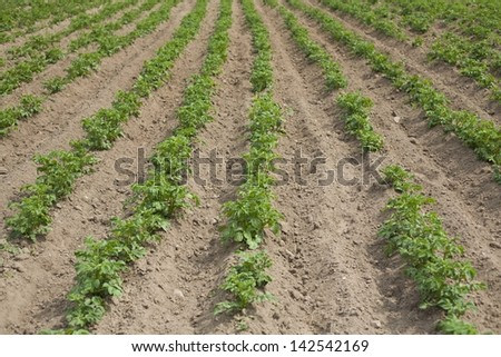 Closeup potato field background - stock photo