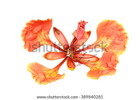 Closeup Pride of Barbados, Isolated on white.