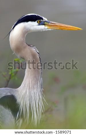 Closeup profile of a Blue Heron in Ohio - stock photo