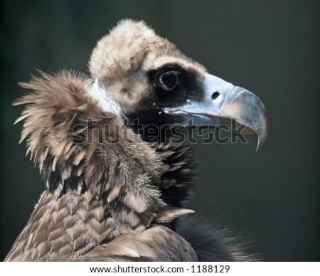 Closeup profile of a condor. - stock photo
