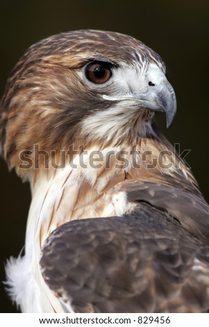 Closeup Profile of a Red Tailed Hawk - stock photo