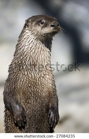 Closeup profile of a River Otter posing for the camera. - stock photo