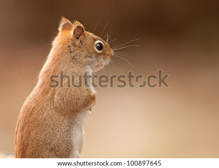 Closeup profile of red squirrel