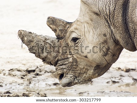 Closeup profile portrait of a White rhinoceros (Ceratotherium simum simum). Animal theme. - stock photo