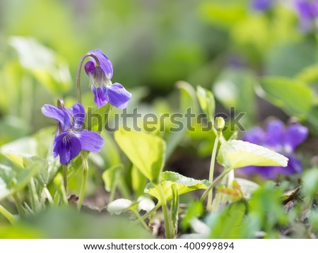Closeup purple flowers scientific name viola stock photo royalty closeup purple flowers scientific name viola odorata sweet violet english violet mightylinksfo