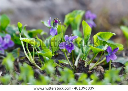 Closeup purple flowers (Scientific name: Viola odorata, Sweet Violet, English Violet, Common Violet or Garden Violet) blooming in spring  in wild meadow. Nature background. - stock photo