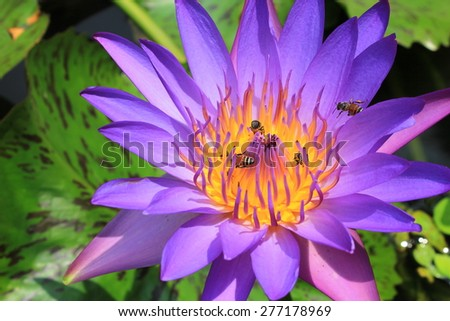 closeup purple water lily pollen with bee in the garden - stock photo